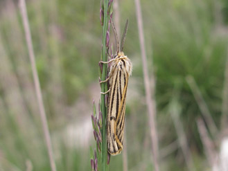 Coscinia striata