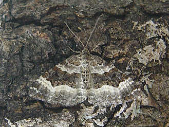 Epirrhoe alternata