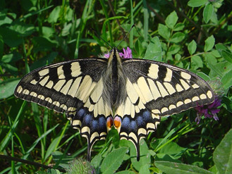 Papilio machaon