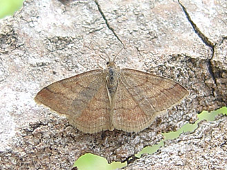 Scopula rubiginata